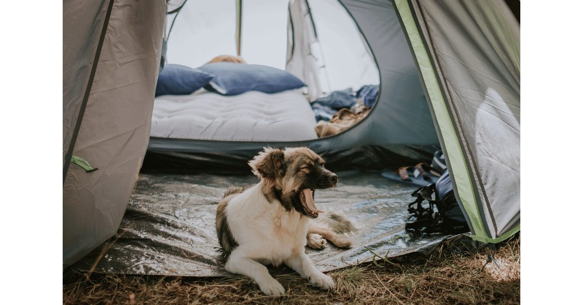 dog yawning in front of a tent