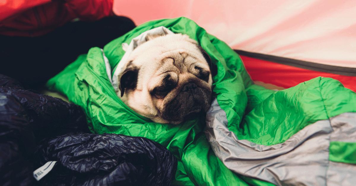 pug in a sleeping bag