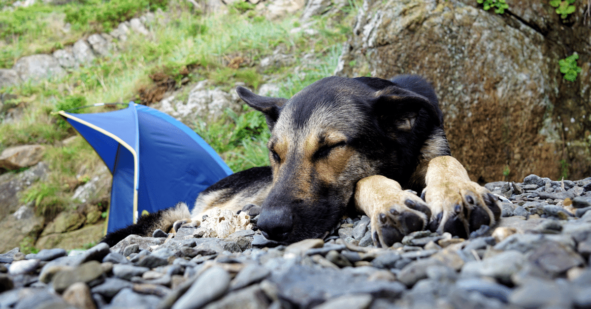 a dog napping next to a tent