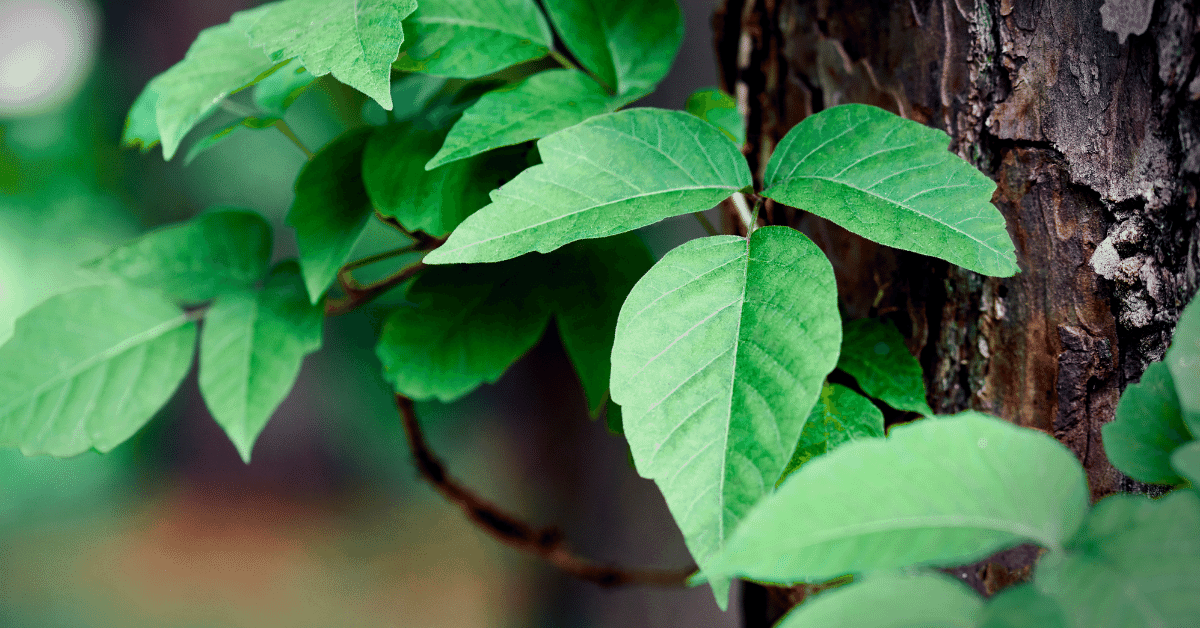 poison ivy growing on a tree trunk