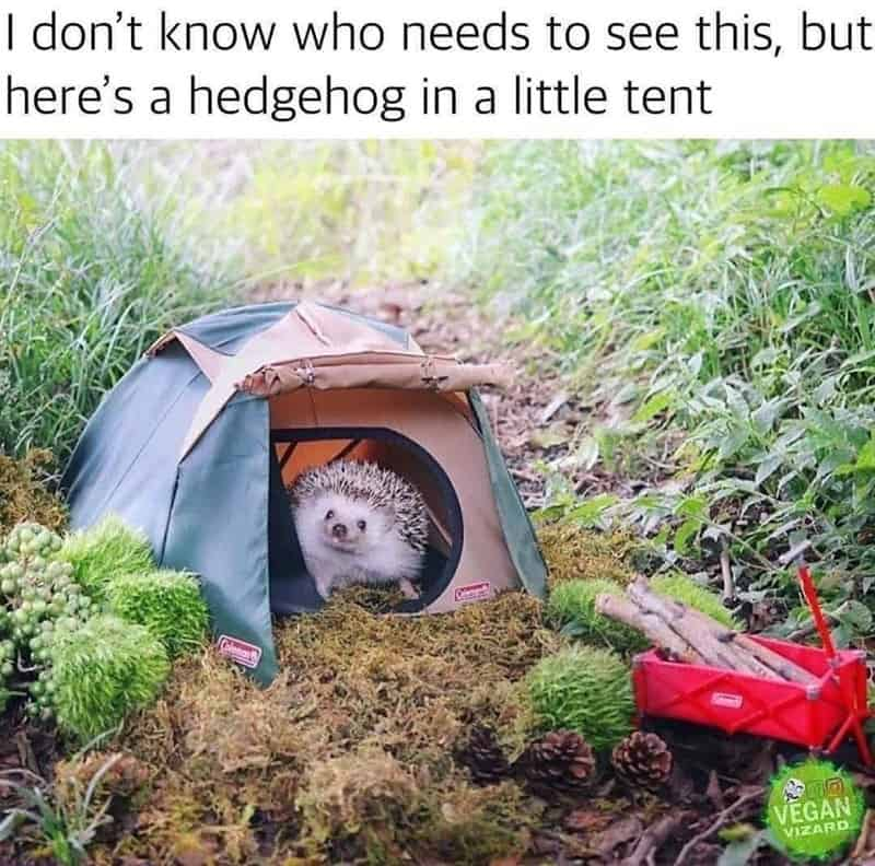 i dont know who needs to see this but heres a hedgehog in a little tent